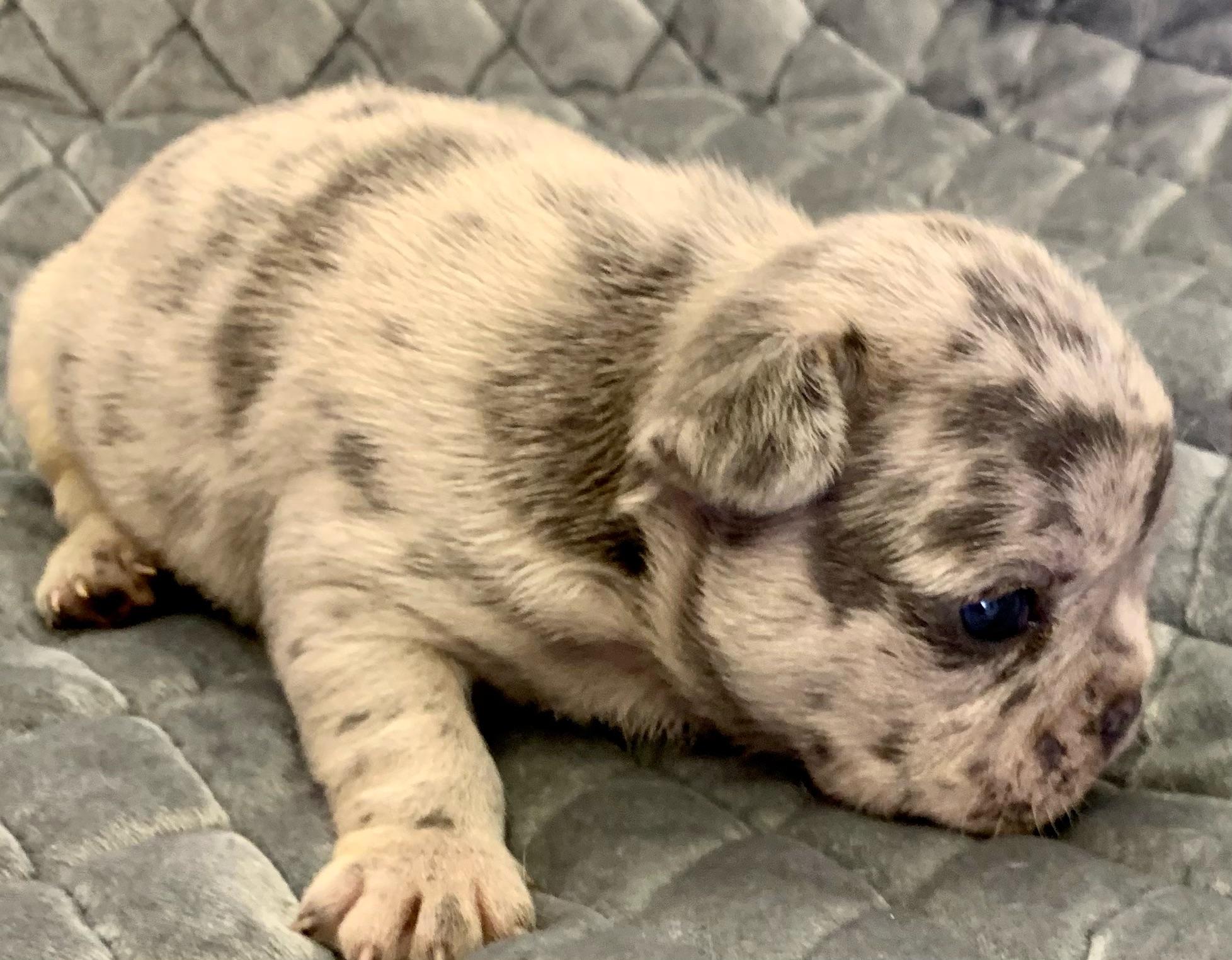 Blue Merle Male French Bulldog: Kosmo-2048