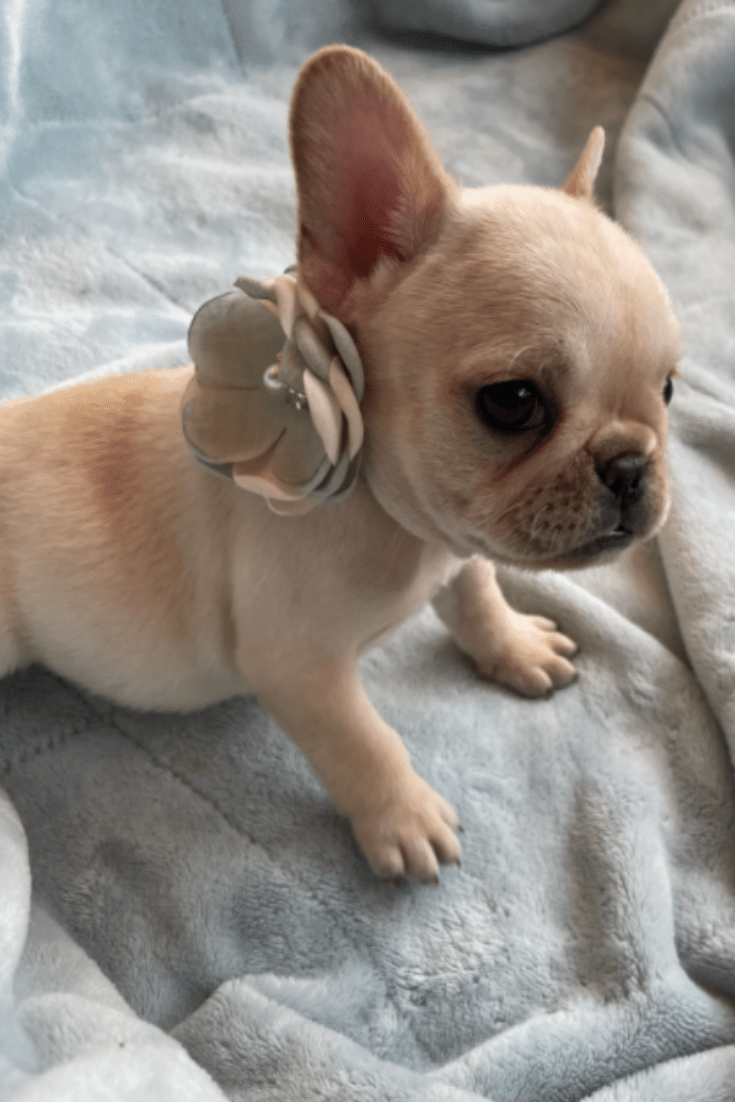 Cream Female French Bulldog: June Bug-4590
