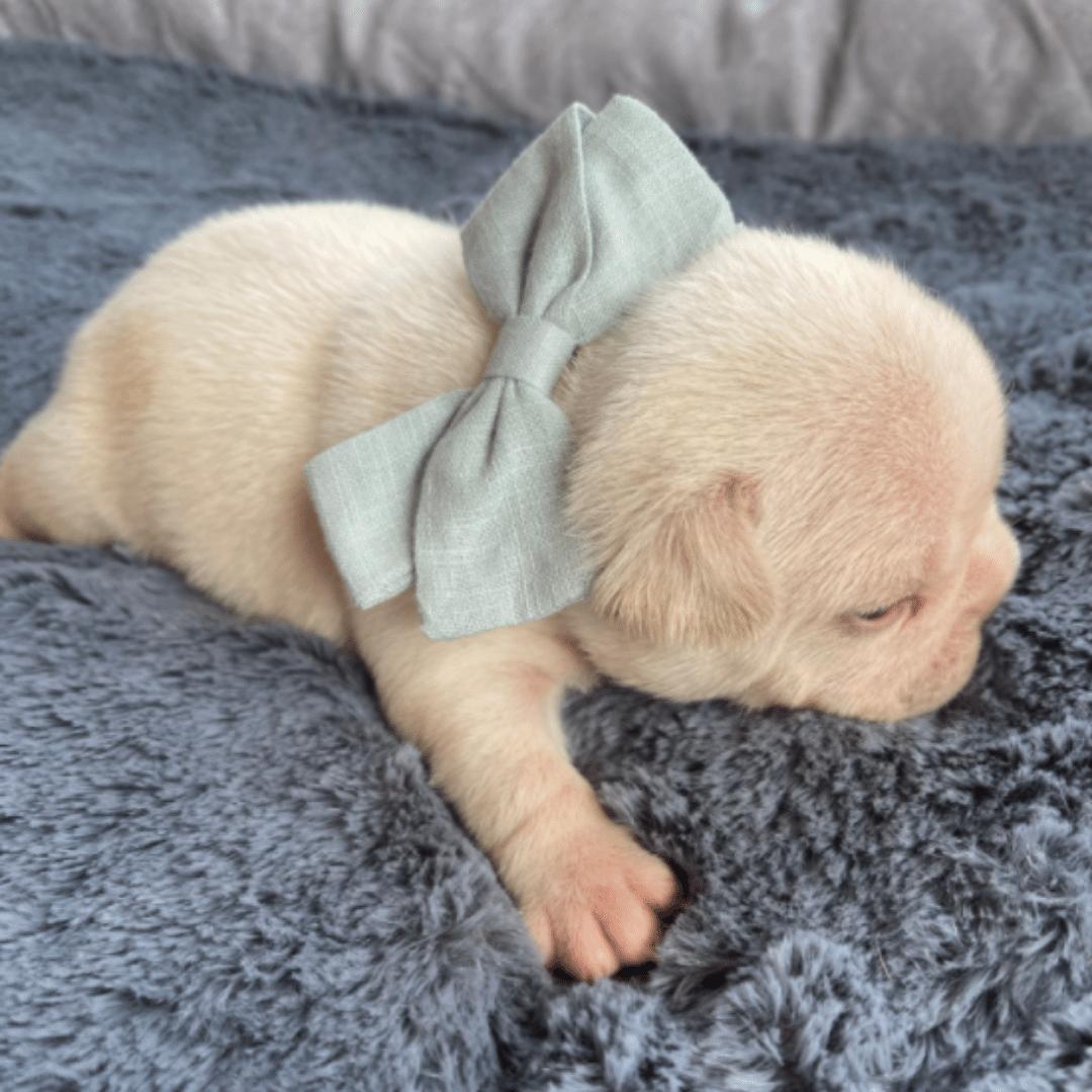 Cream Male French Bulldog: Sarge-3139