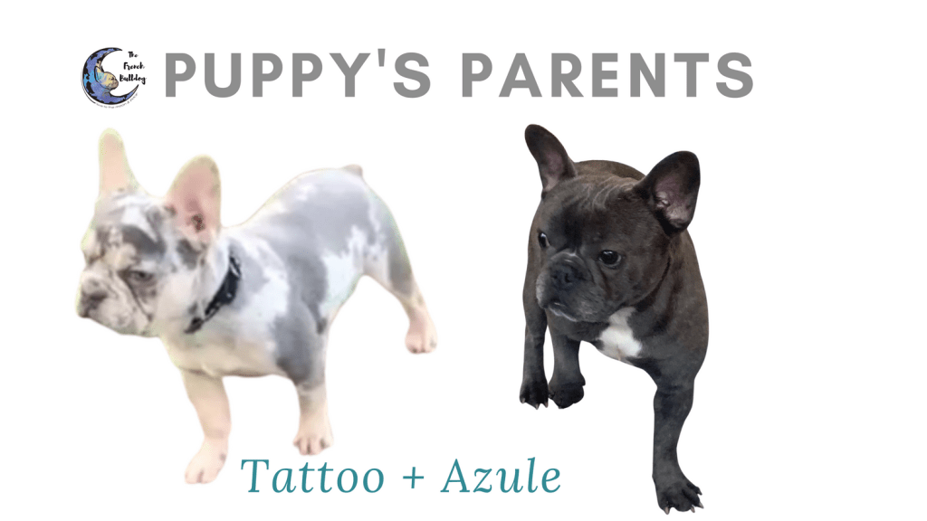 Upcoming Blue and Merle French Bulldog Litter: March 17, 2021