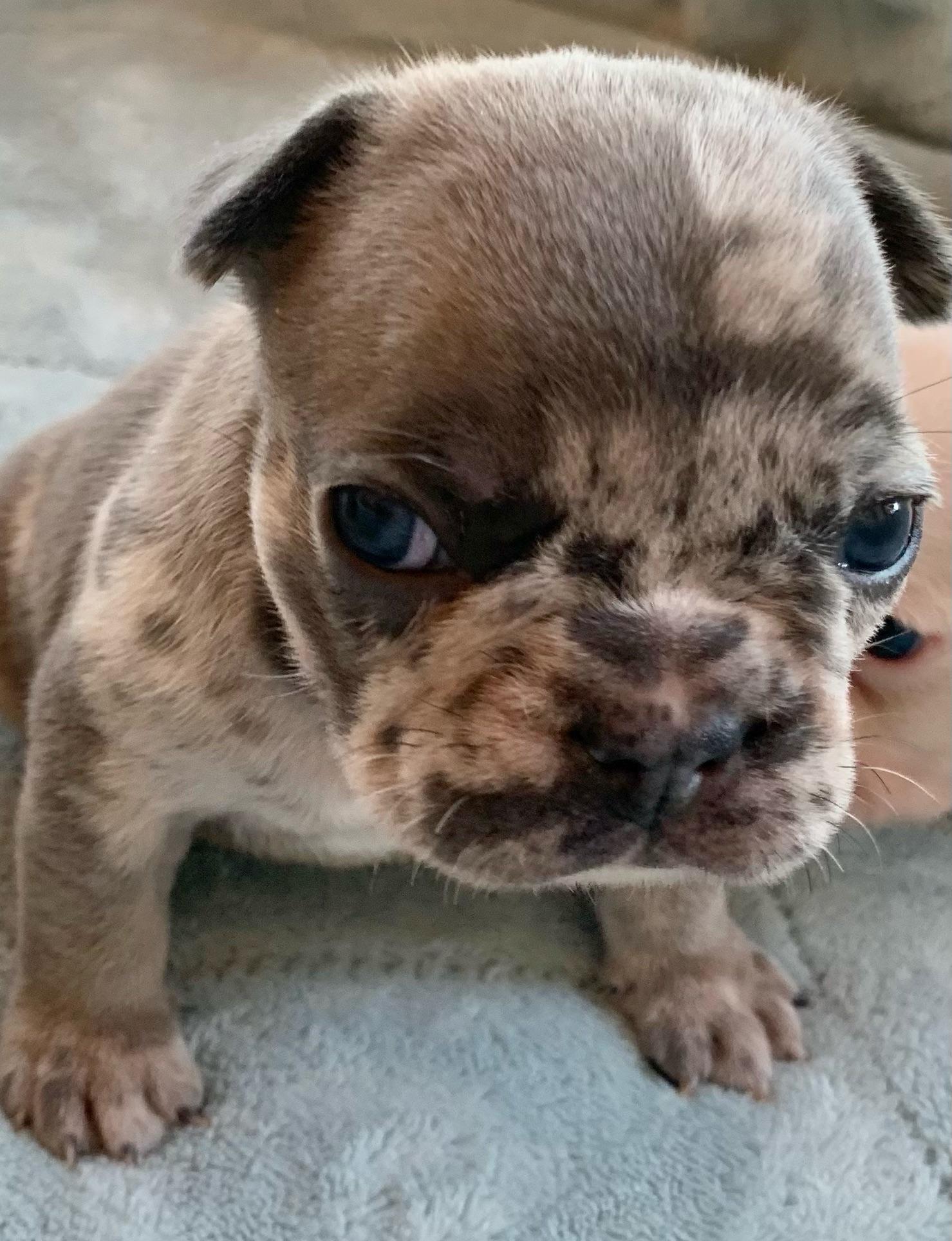 Blue Merle Female French Bulldog: Kiki-2731