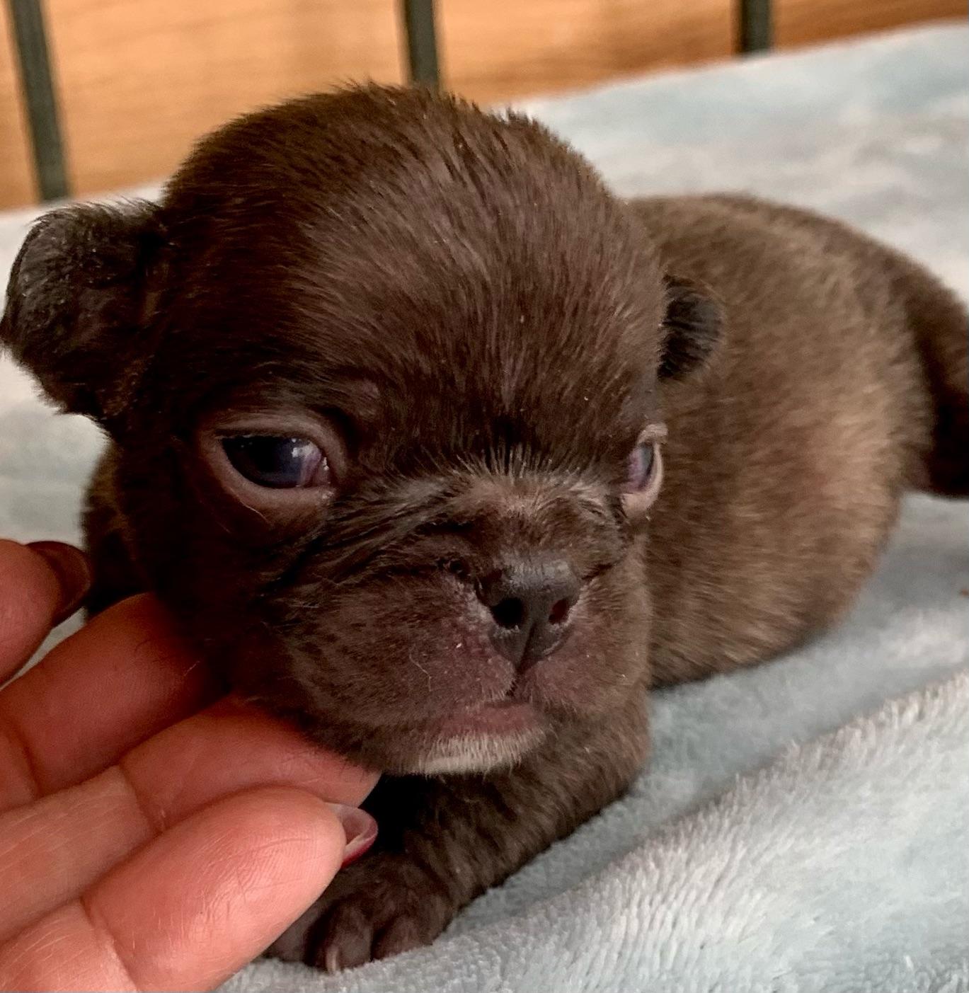 Lilac French Bulldog Puppies- Feb 22, 2021