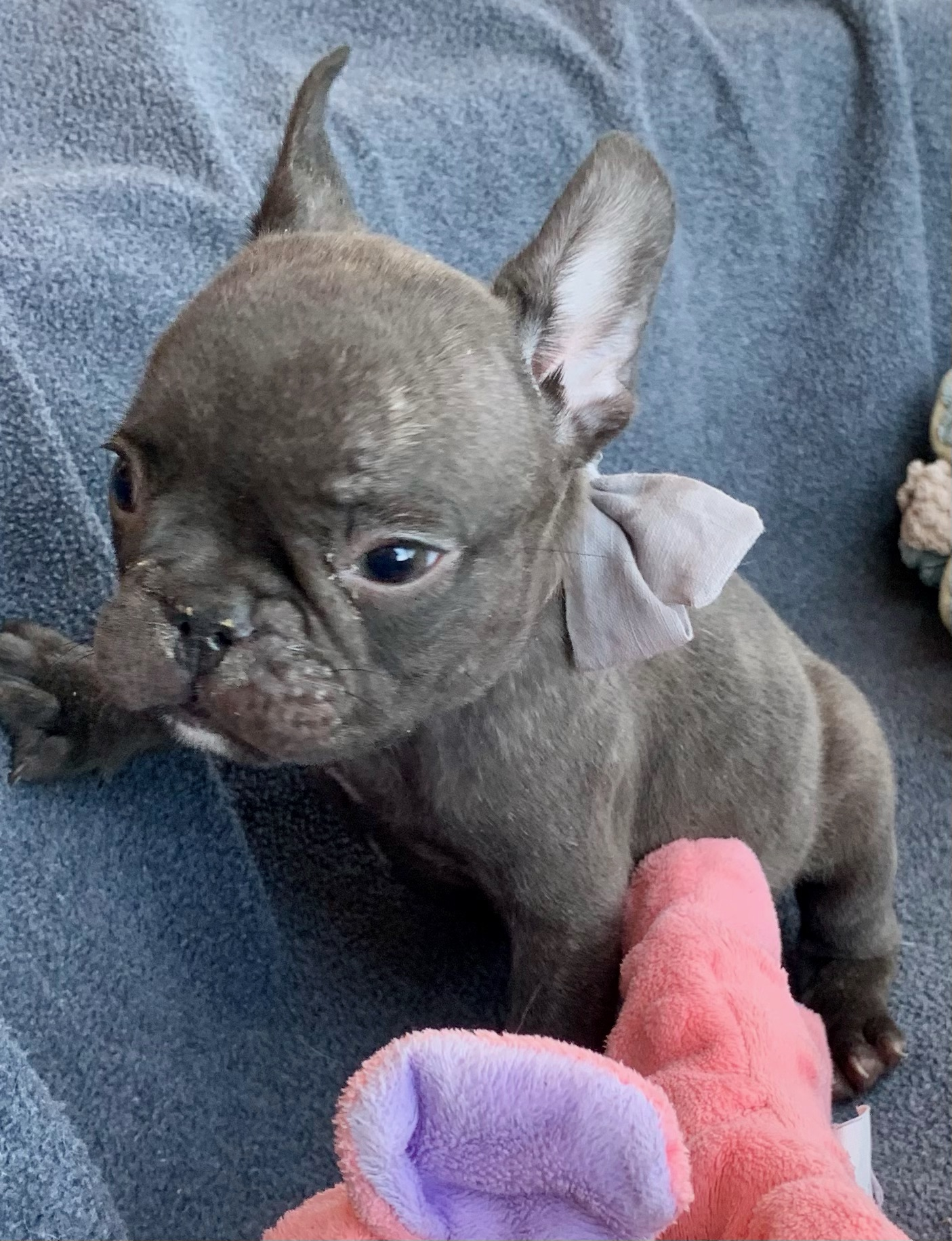 Chocolate Male French Bulldog: Grizzly - 4769