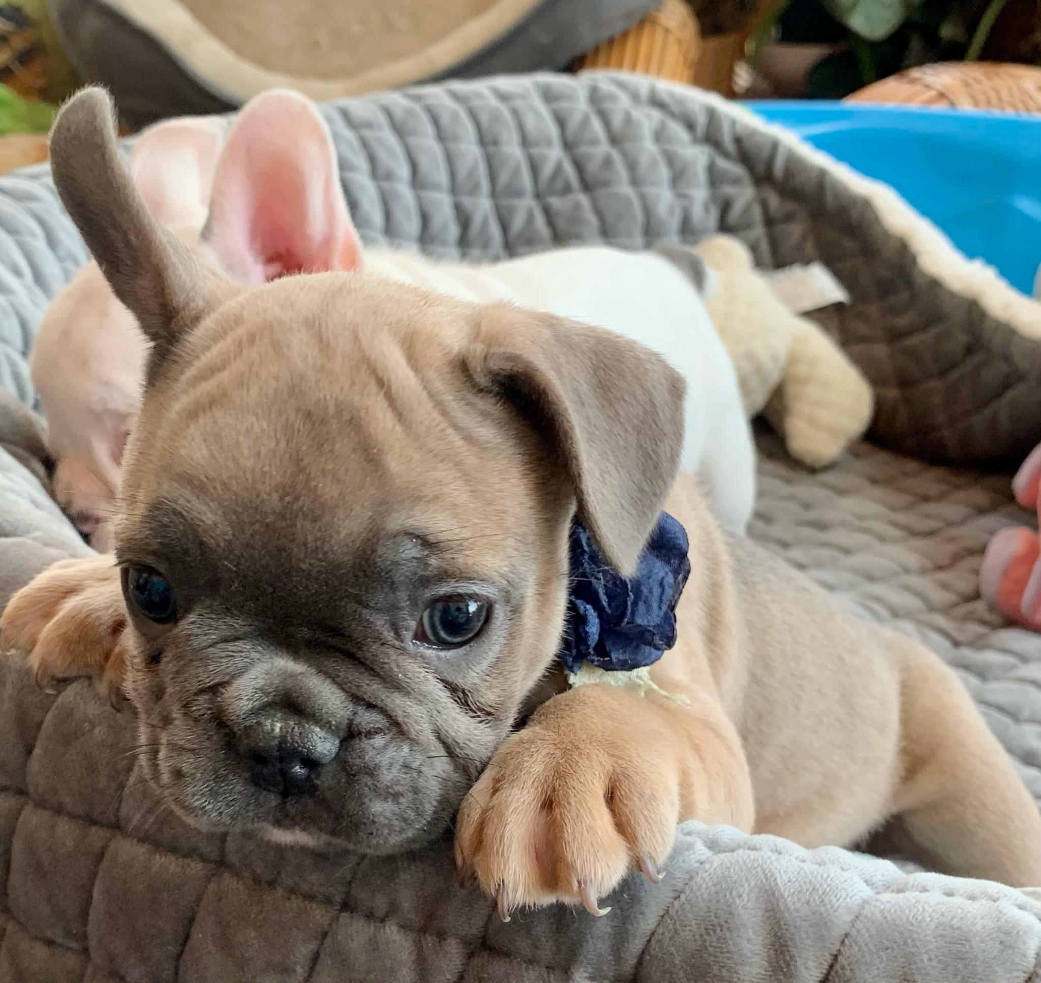 Blue Fawn Female French Bulldog: Muffin-4597