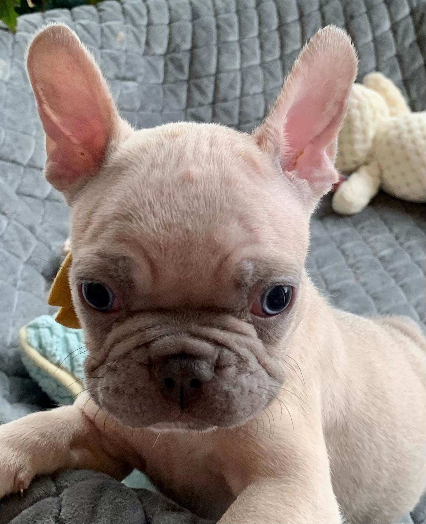 Lilac Fawn French Bulldog: Nomad- 2583