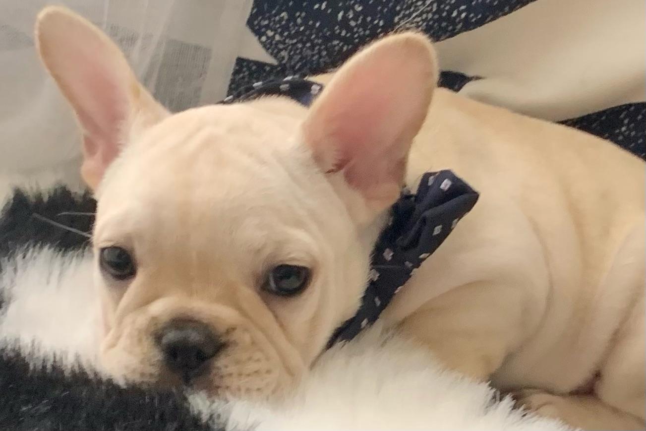 Cream Male French Bulldog: Jenga-5150
