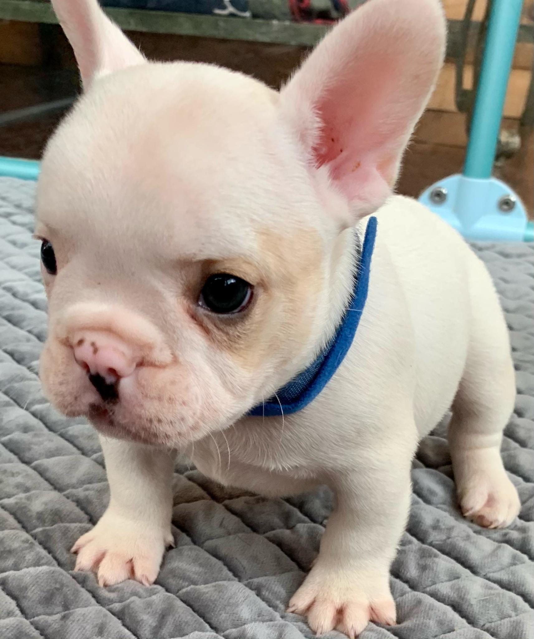 Cream Male French Bulldog: Sully-2691