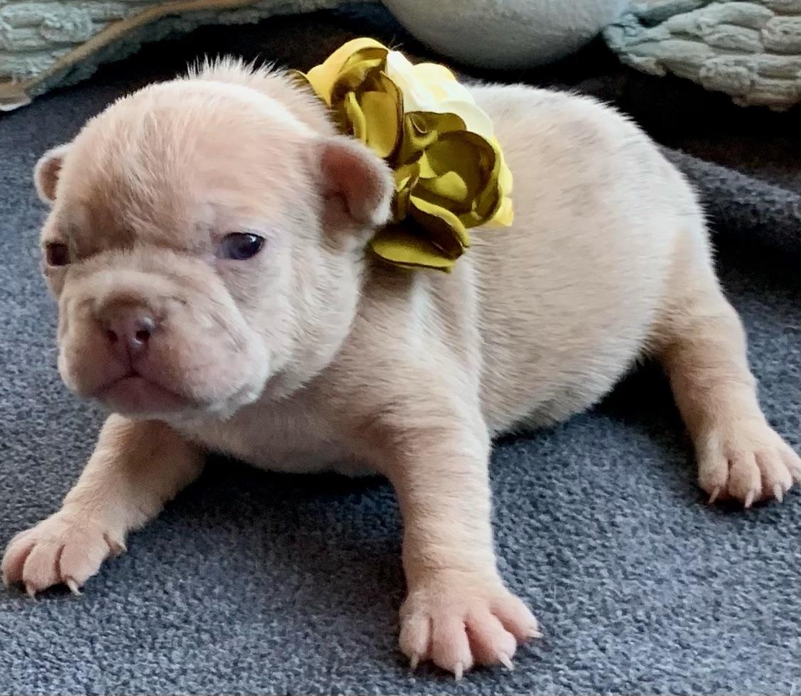 Lilac Fawn Merle Female French Bulldog: Tahini-0949-SOLD