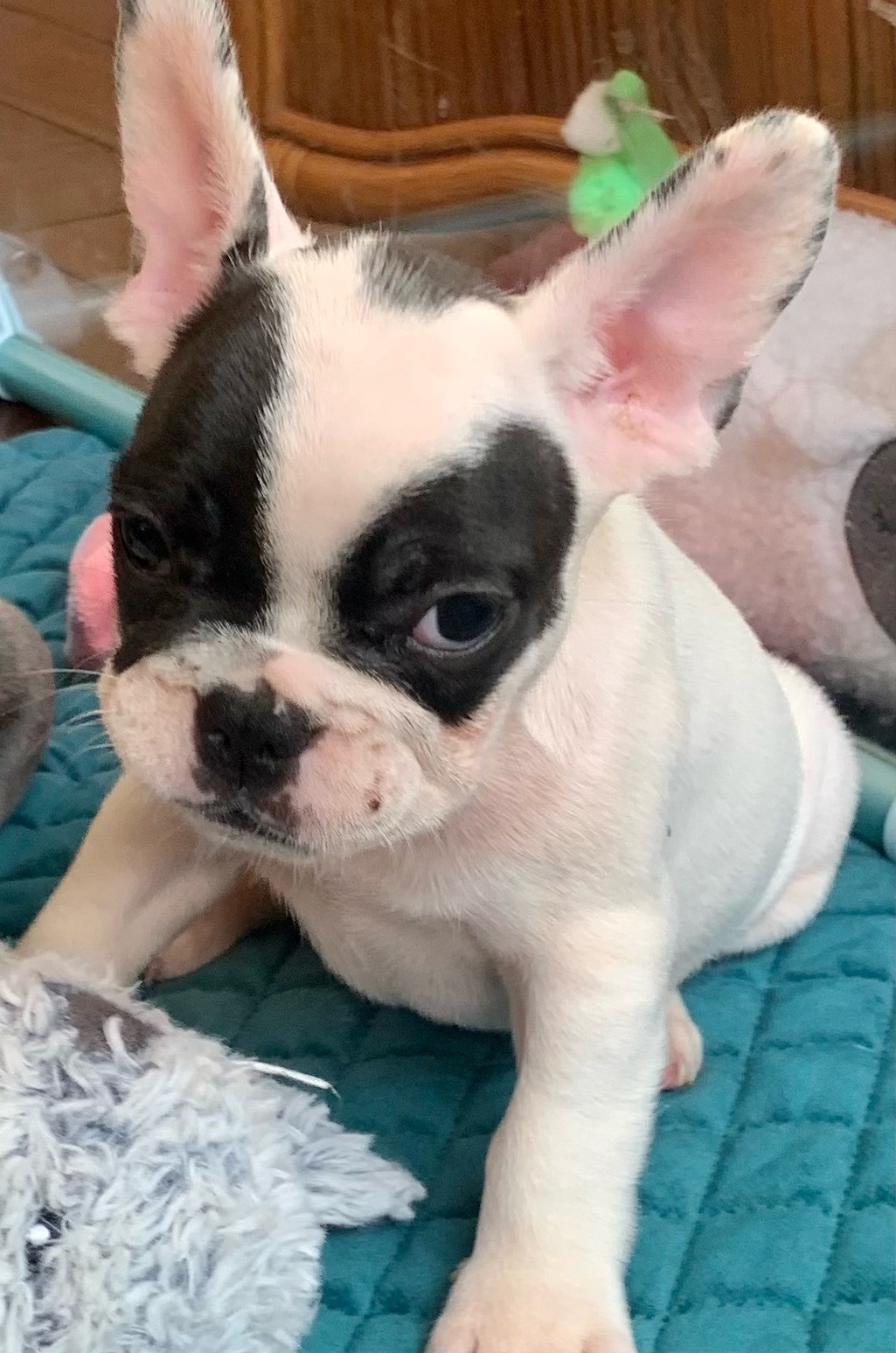 Brindle Pied Male French Bulldog: Patches- 3133