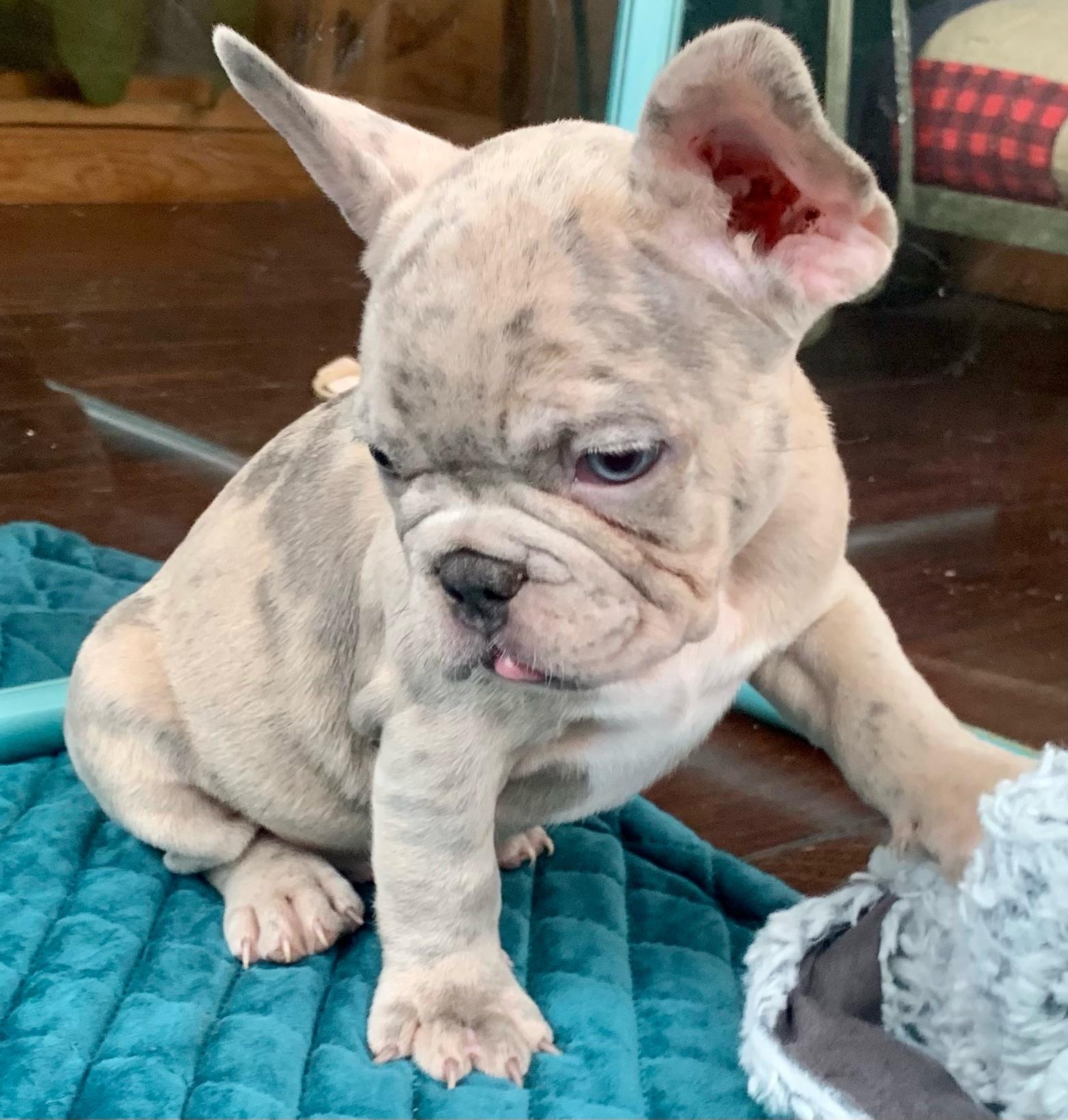 Lilac Merle Male French Bulldog: Newton- 2298