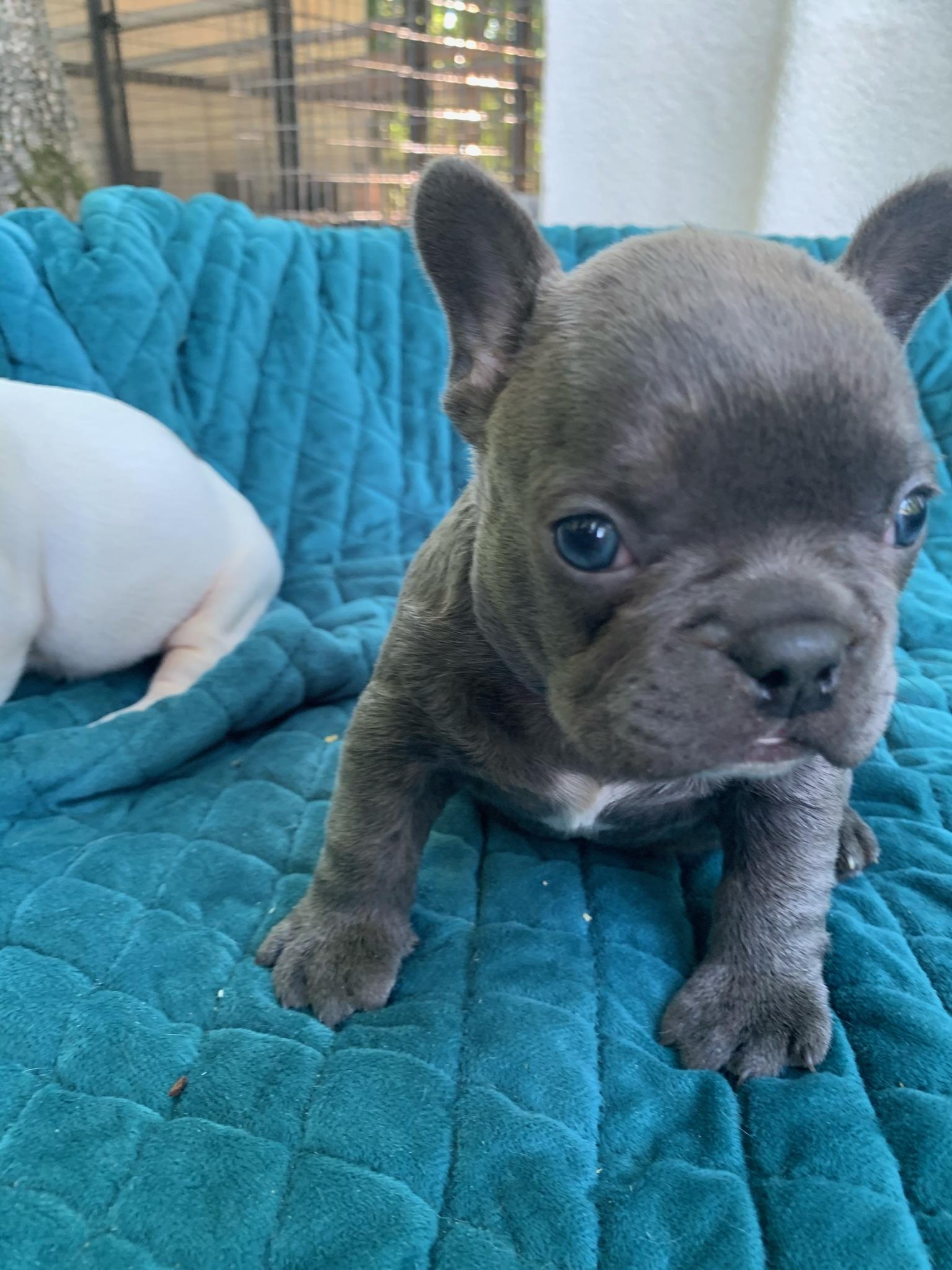 Blue Male French Bulldog: Dusk