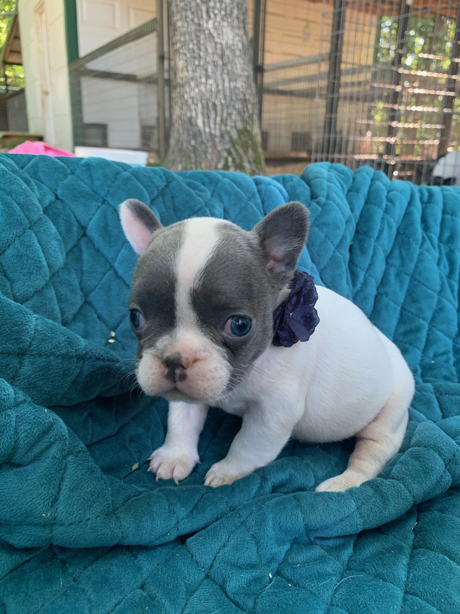 Blue Pied Female French Bulldog: Dicey