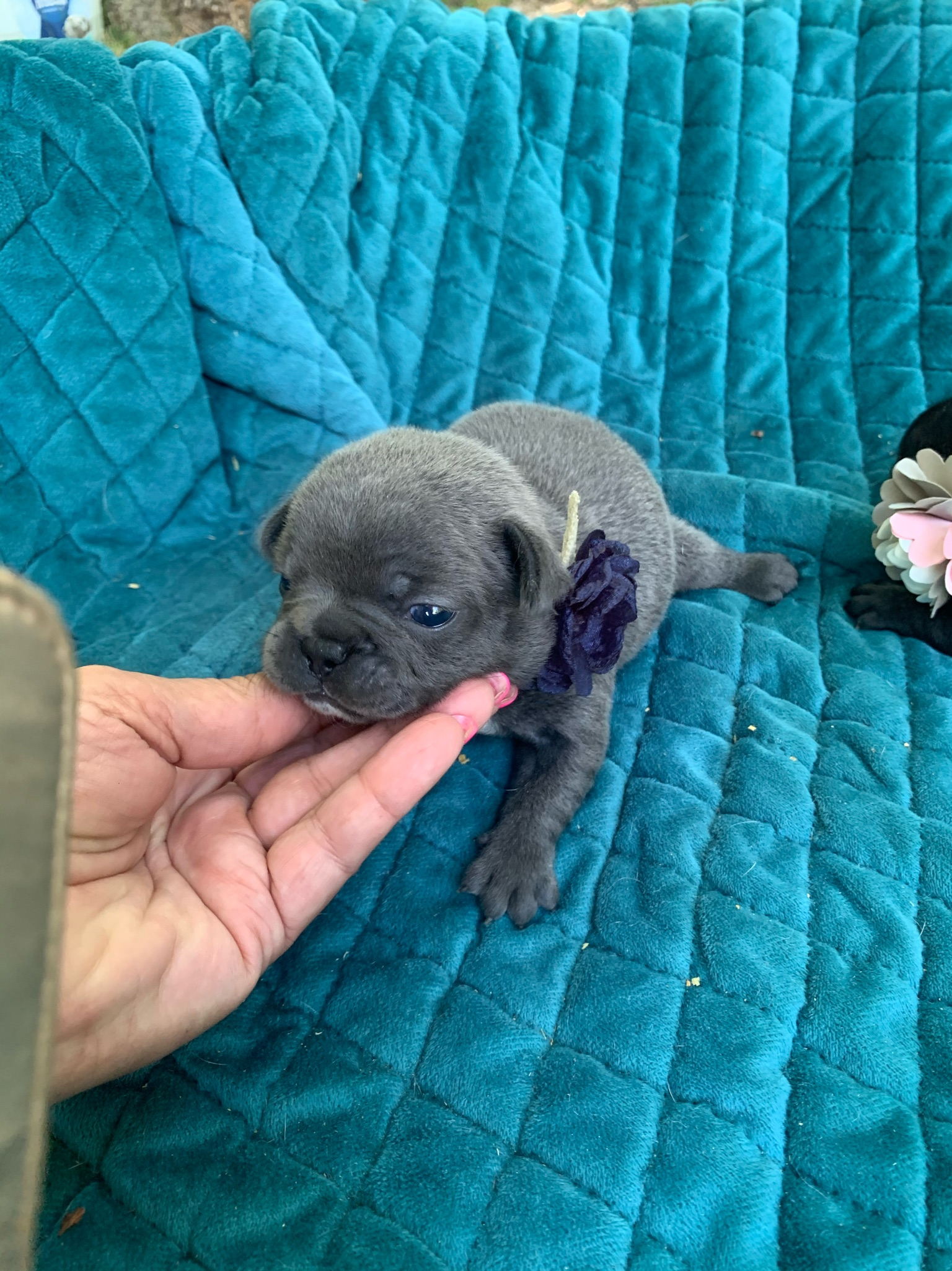 Blue Female French Bulldog: Esmeralda