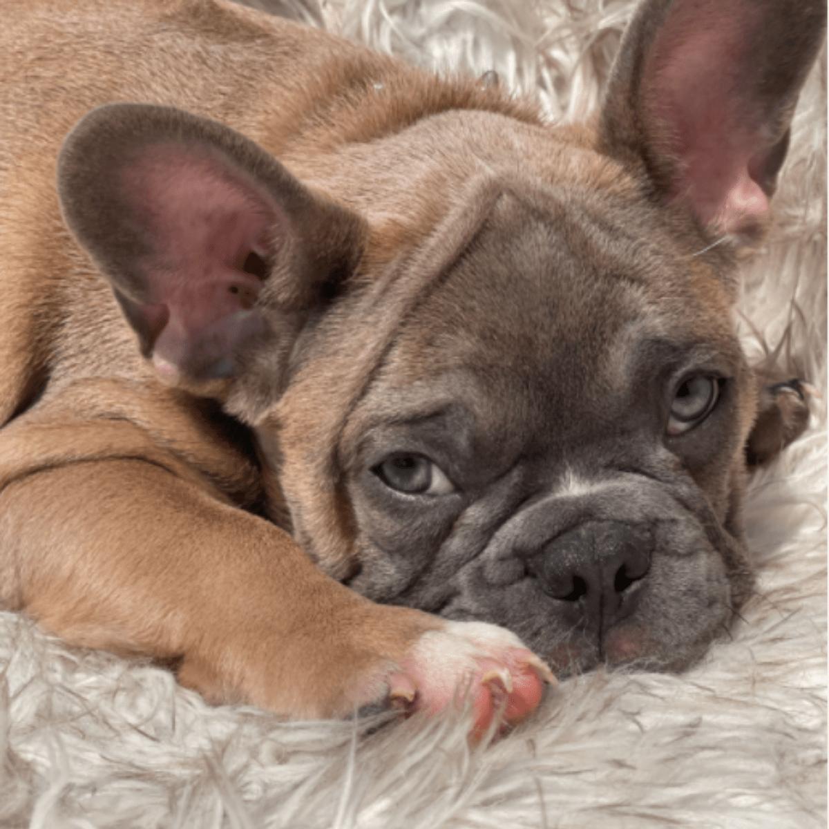 Blue Fawn Male French Bulldog: Chestnut