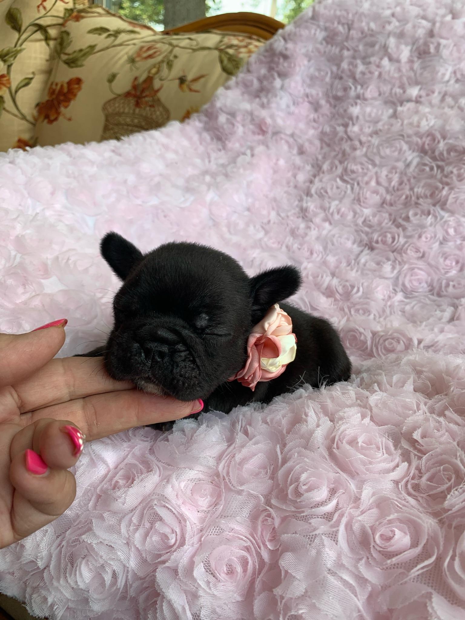 Brindle Female French Bulldog: Jazzy- 2767