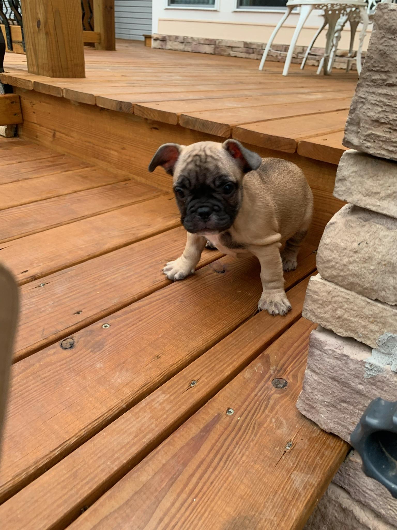 Fawn Male French Bulldog: Fidget