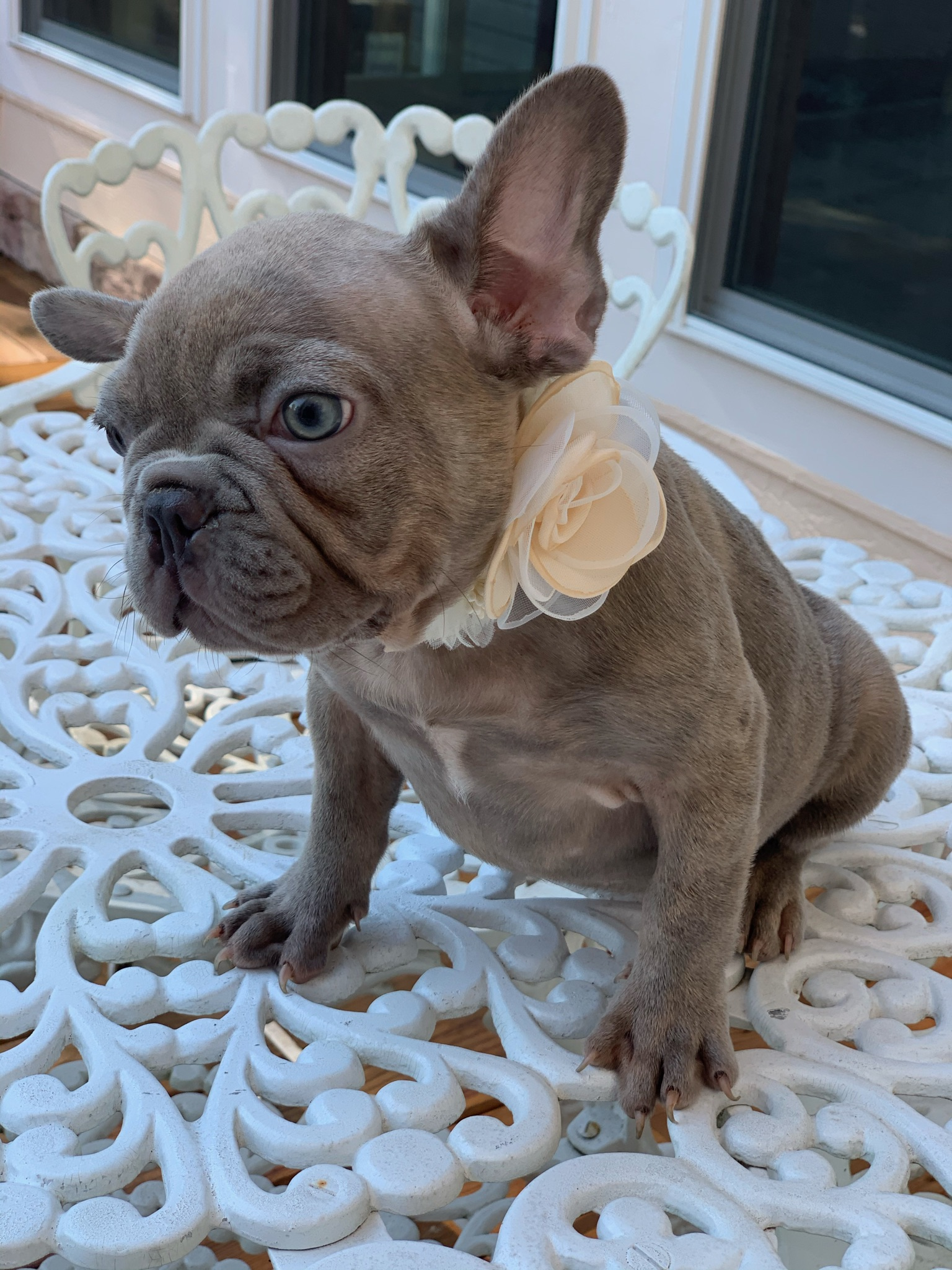 Lilac Female French Bulldog: Beauty-Sold