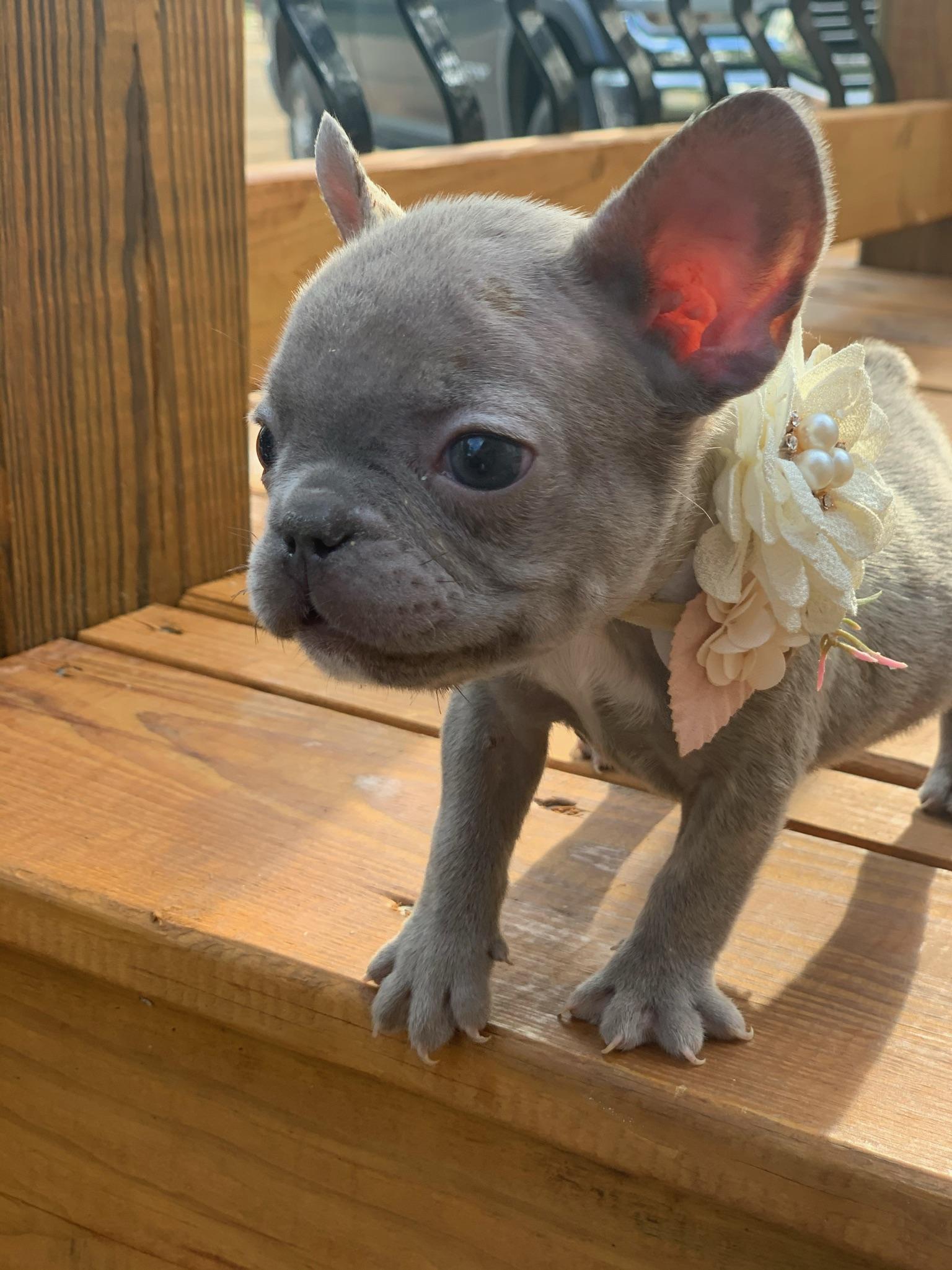 Lilac Female French Bulldog: Kendall-9684