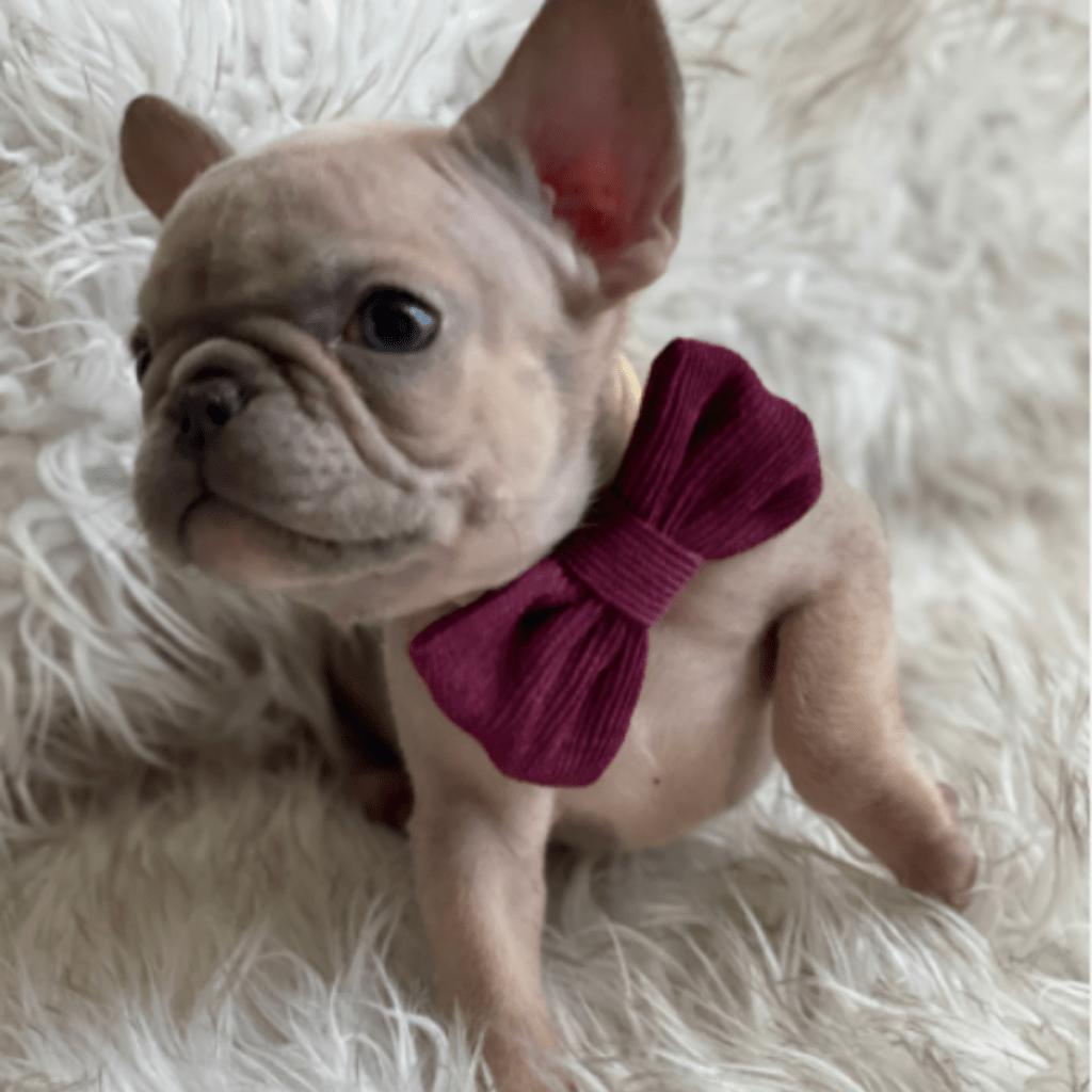 Lilac Fawn Male French Bulldog: Mochi