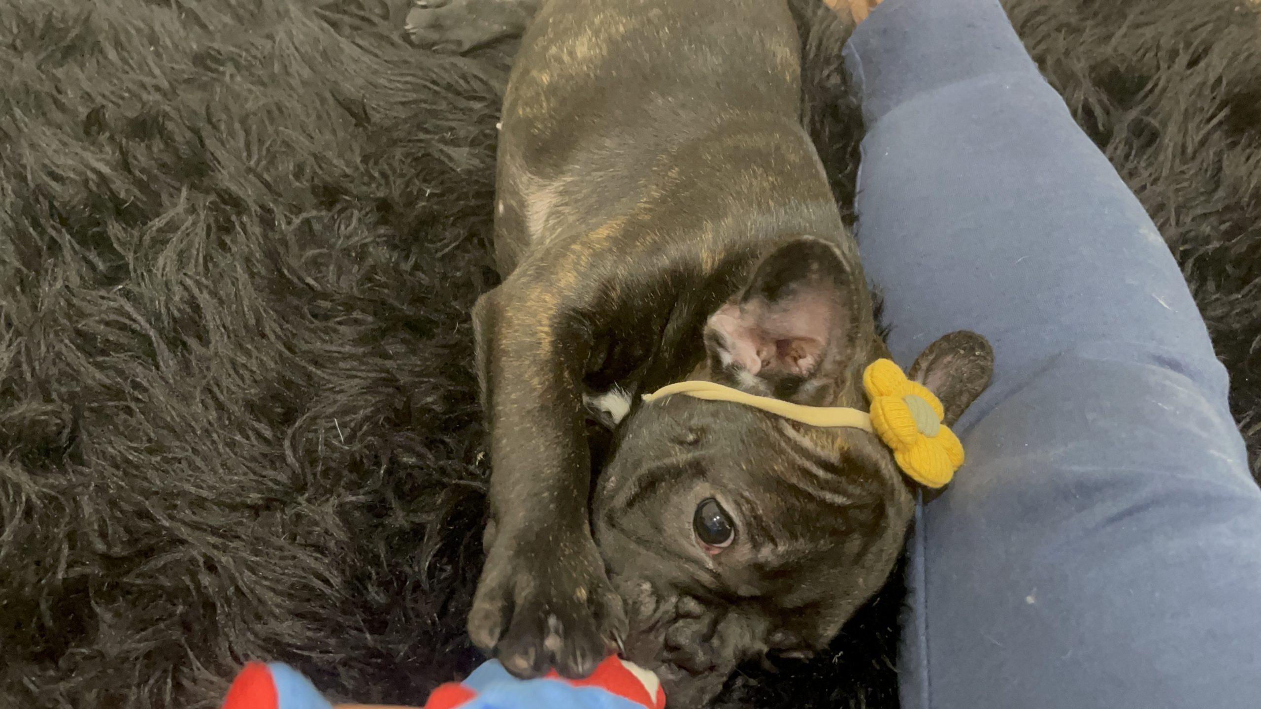 Brindle Female French Bulldog: Ebony