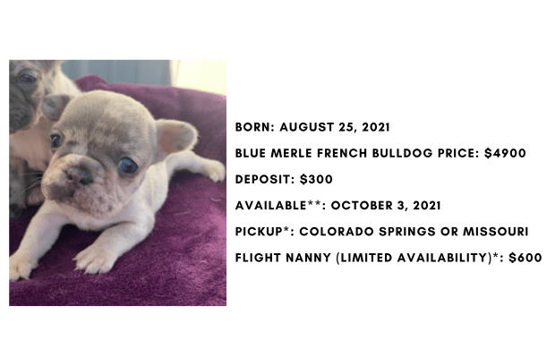 Blue Merle Female French Bulldog: Nibbles-Sold