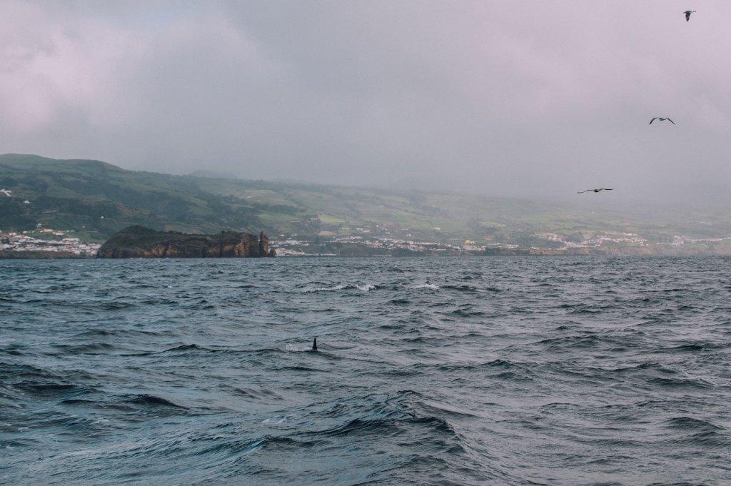 dauphin portugal açores