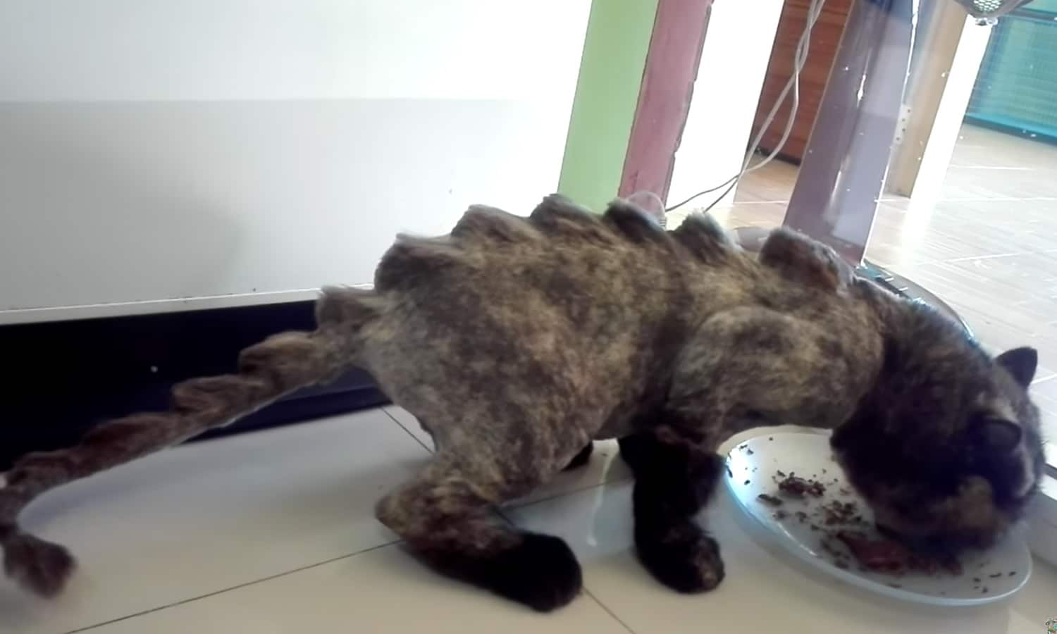 What You Need To Know About This Cat With A Dinosaur Haircut