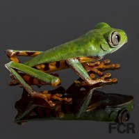 "Species Highlight ""Super Tiger Leg Monkey Frog"" with pictures"