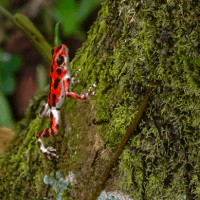 5 reasons to support the Poison Dart Frog Documentary on Kickstarter