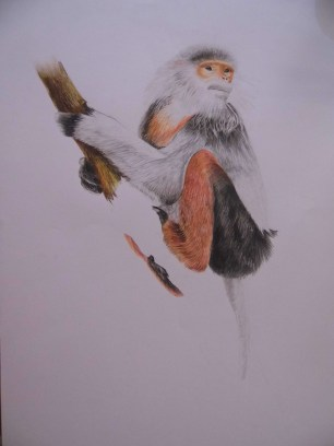 red-shanked douc drawing, work in progress by Maria Boklach
