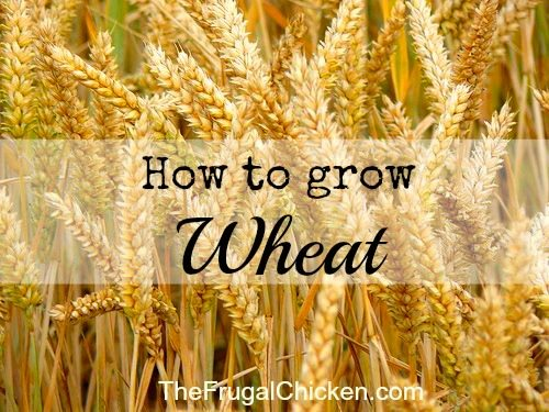 How to Grow Wheat to be More Self-Sufficient