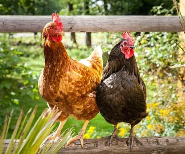 raising chickens is easy but if you 39 re confused about how to raise
