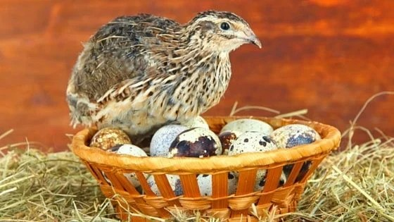 Raising Quail Is For Every Homestead [Video Tutorial]