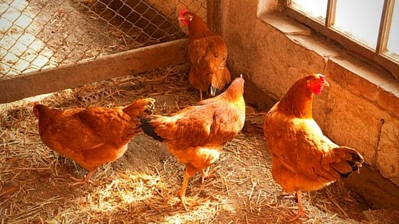 What Your Chicken Coop Should Include (Plus…Mistakes To Avoid) [Podcast]