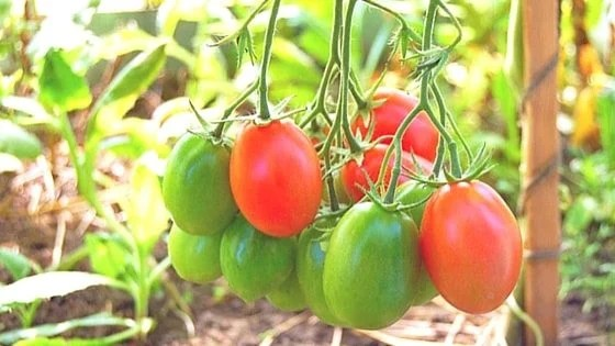 Grow Paste Tomatoes To Make Your Own Kitchen Pantry Staples