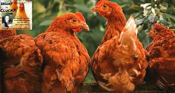 Can chickens eat algae? Yes. And it can combat iron deficiency. Since iron is critical to raising a healthy flock, this is an episode you don't want to miss.