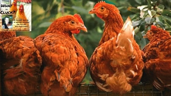Can Chickens Eat Algae? Combating Iron Deficiency For Better Eggs [Podcast]
