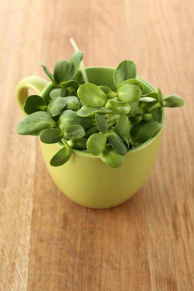 Grow sunflower microgreens for a healthy snack!