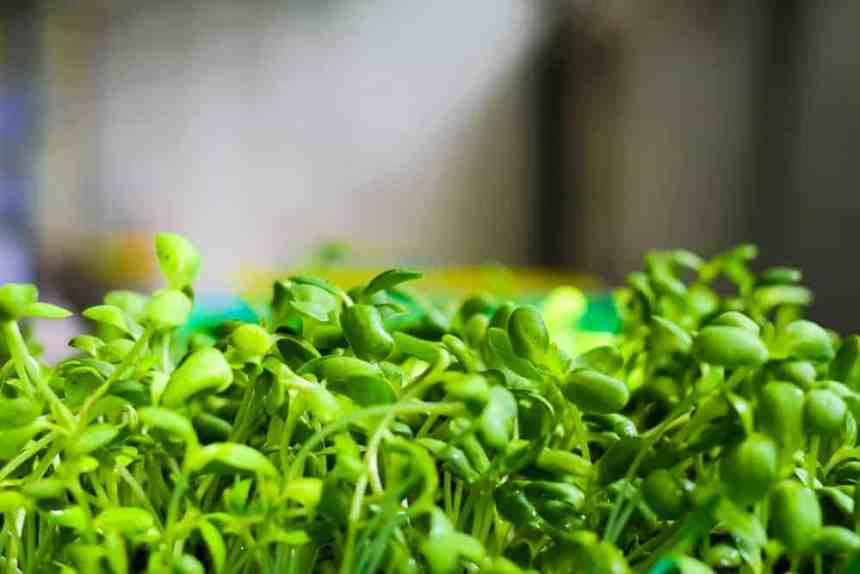 Grow sunflower microgreens for a healthy addition to any meal!