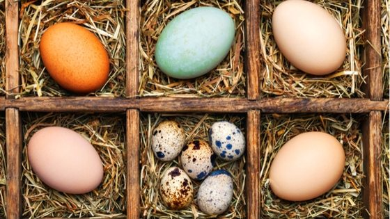 Why Your Chickens Stopped Laying Eggs: What The Cluck?! Episode 81