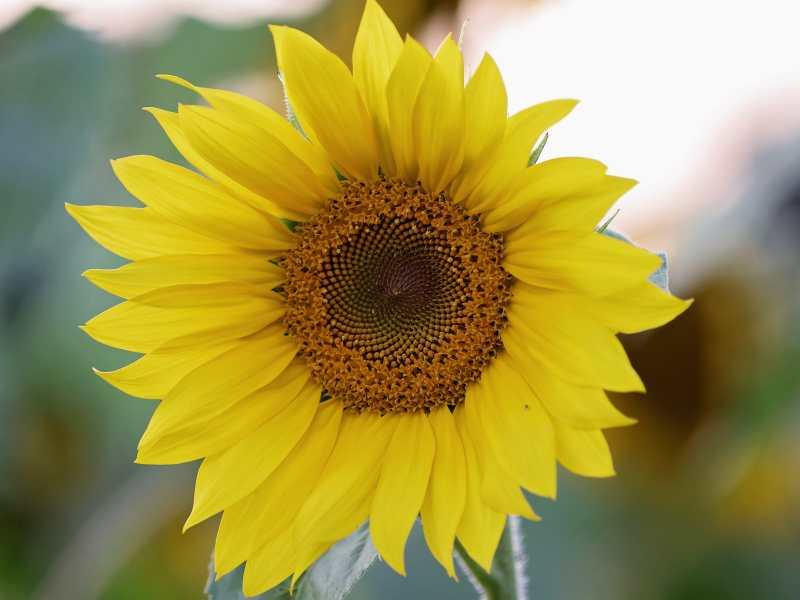 sun flower sunflower