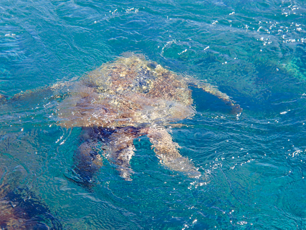 Maui Turtle Snorkeling and Travel Tips from TheFrugalGirls.com