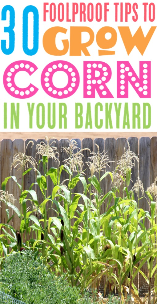Corn Growing Tips Garden Ideas and Layouts and Hacks for Raised Beds or Backyard Gardens