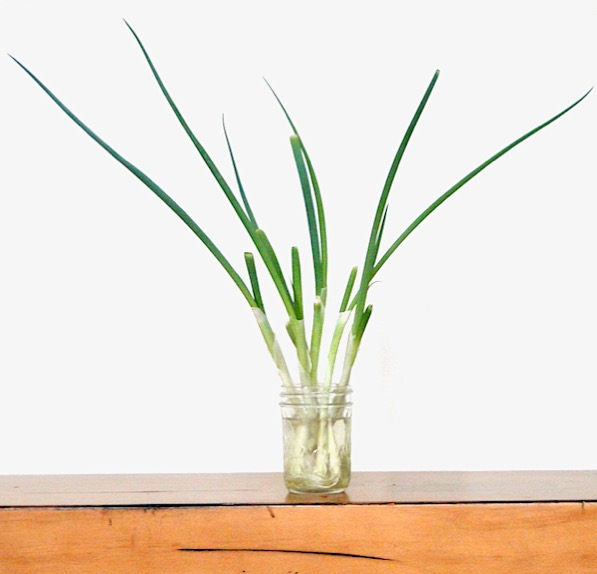 Growing Green Onions at Home in Water