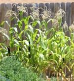 Corn Gardening Tips and Tricks