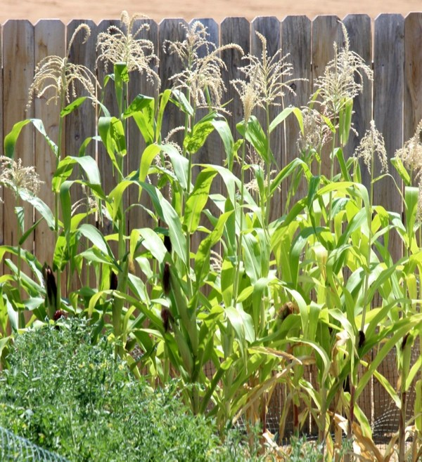 Corn Gardening Tips and Tricks