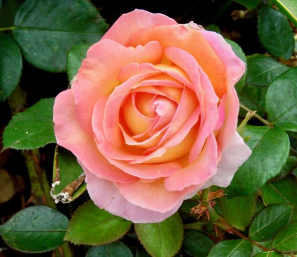 Rose Bush Gardening Tips