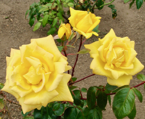Rose Gardening Tips Beginners