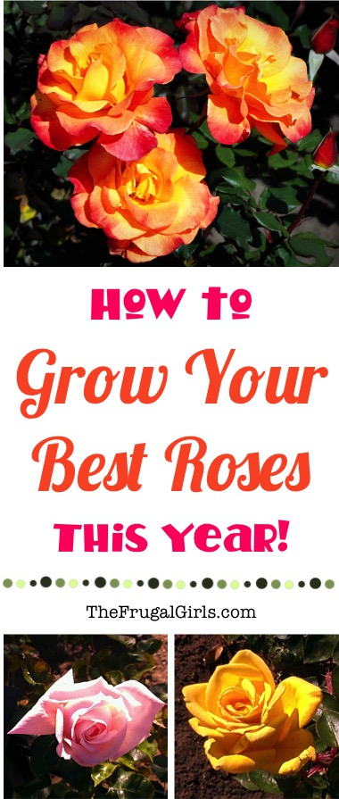 Rose Gardening Tips and Tricks from TheFrugalGirls.com