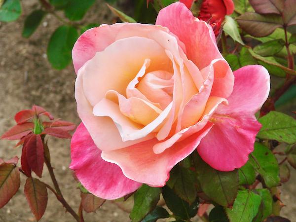 Rose Gardening Tips for Beginners